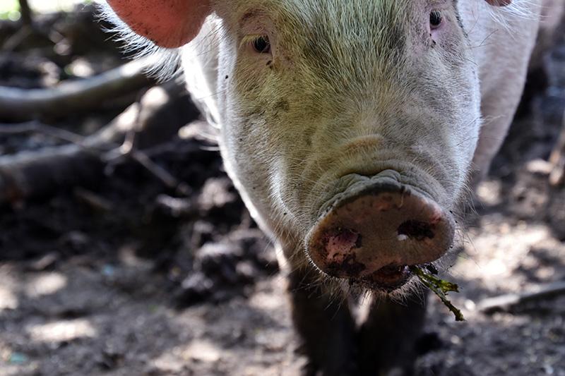 pastured-pork-2.jpg