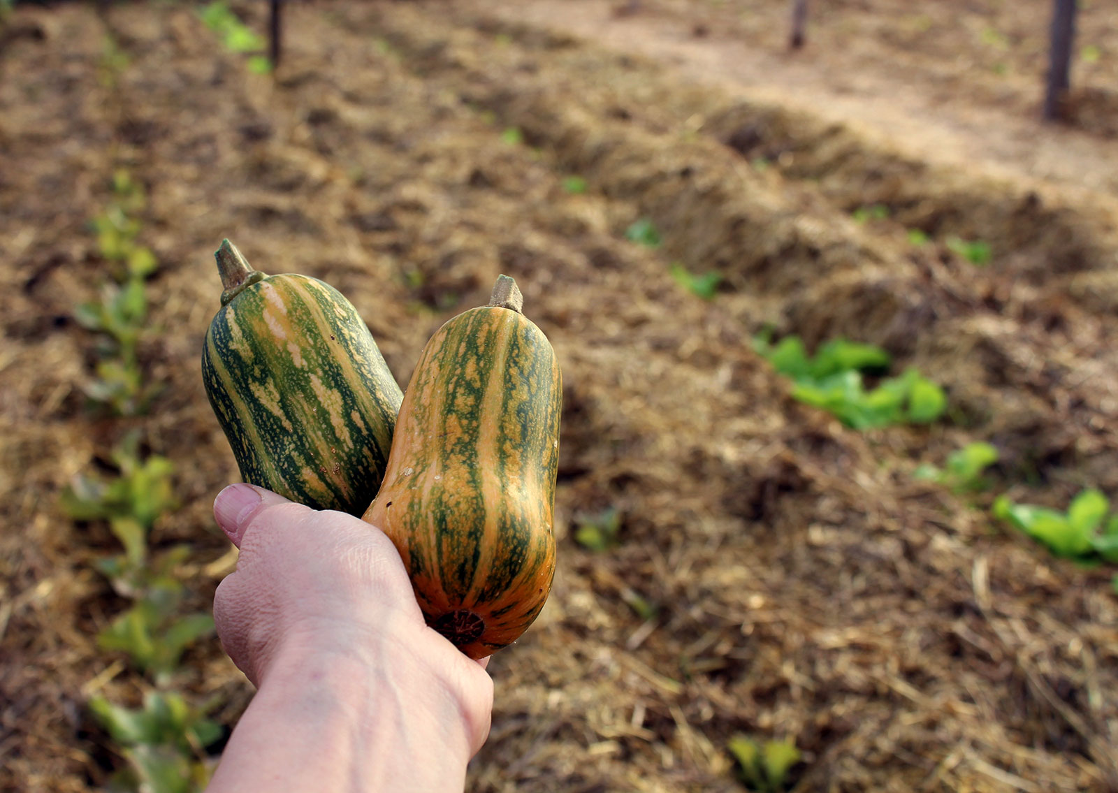 local-mini-butternut-squash.jpg