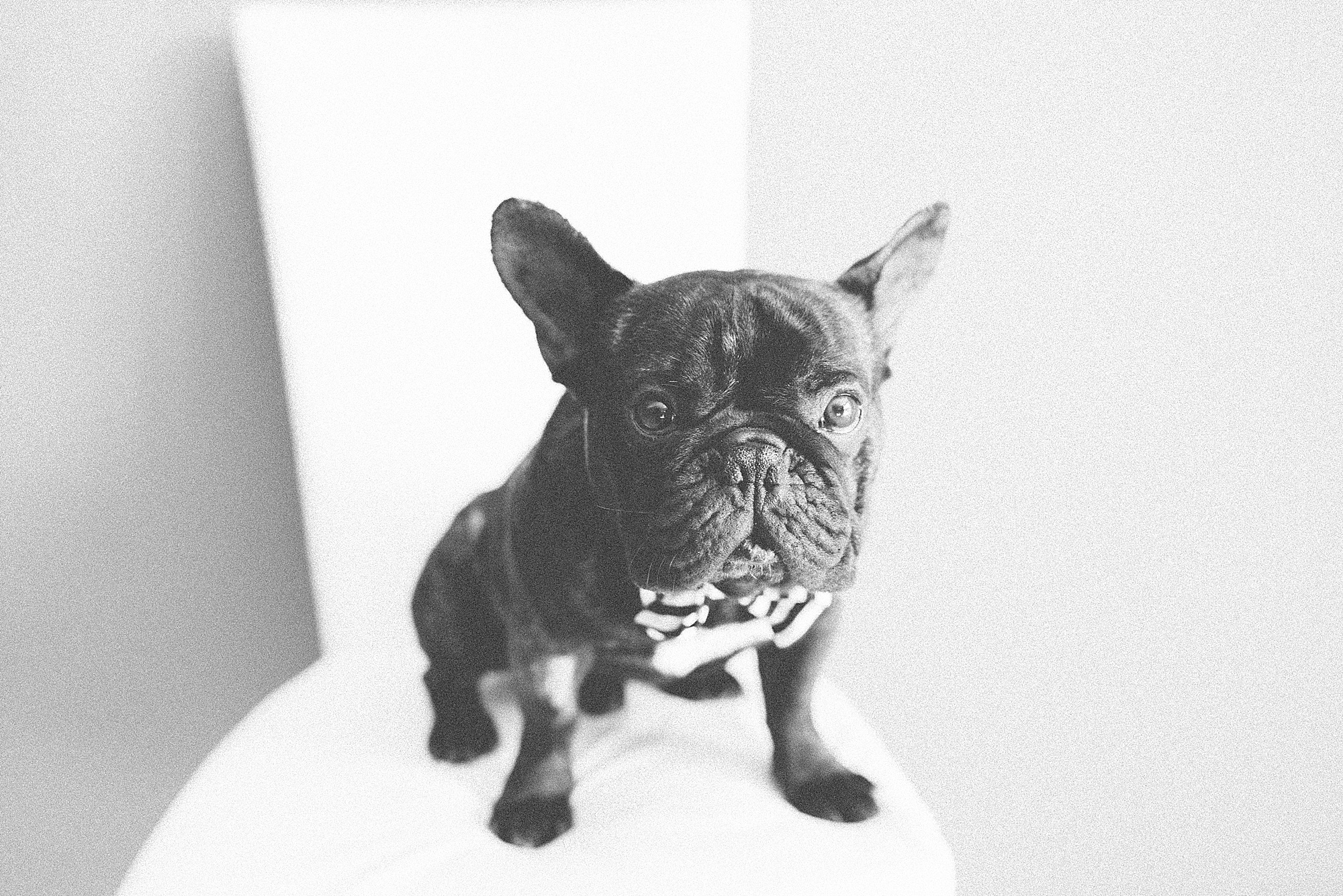 Darren-Bester-Cape-Town-Wedding-Photographer-French-Bulldog-Cooper_0007.jpg