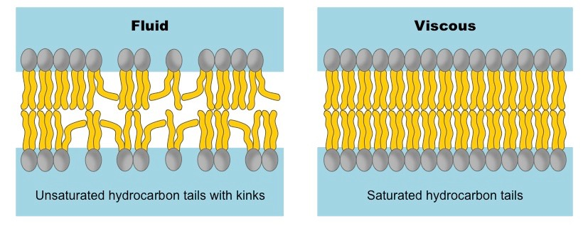 left photo is good. our cells consist of phospholipid bilayers. kinks in the tails of these phospholipids maintain a level of membrane fluidity that facilitates cell-to-cell signalling. right photo is bad.