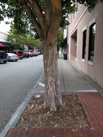16 Greenville NC Trident Maples.jpg