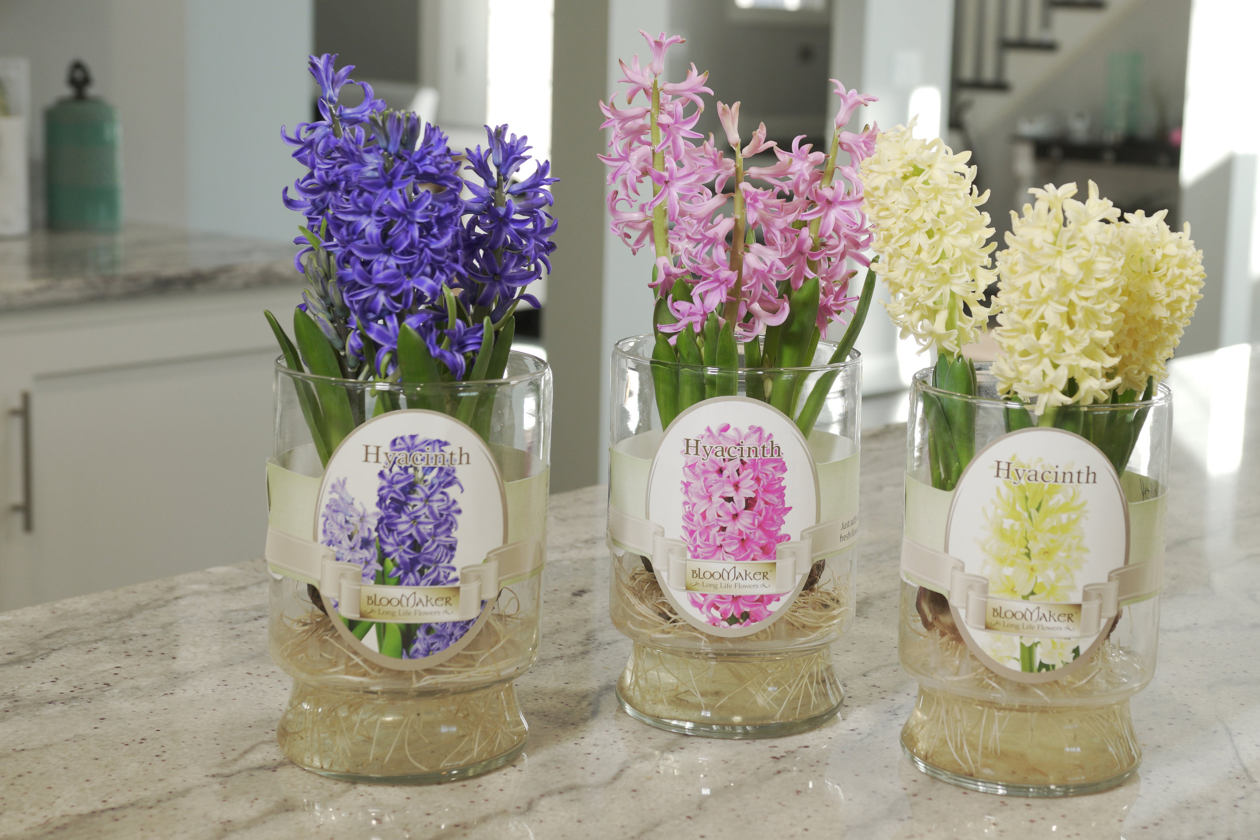 Hyacinths - Our Hyacinth and Muscari (Grape Hyacinth) bulbs are hand-picked for the highest quality in the Netherlands and sent to our U.S. based greenhouses to help them grow hydroponically into beautiful blooms. Purchase them while budding to watch them grow, or purchase them in bloom to enjoy in the moment. Our FAQ provides tips on care.Share them to brighten someone's day, or keep them all to yourself. Either way, we promise they will put a smile on your face.Hyacinth Product Specifications