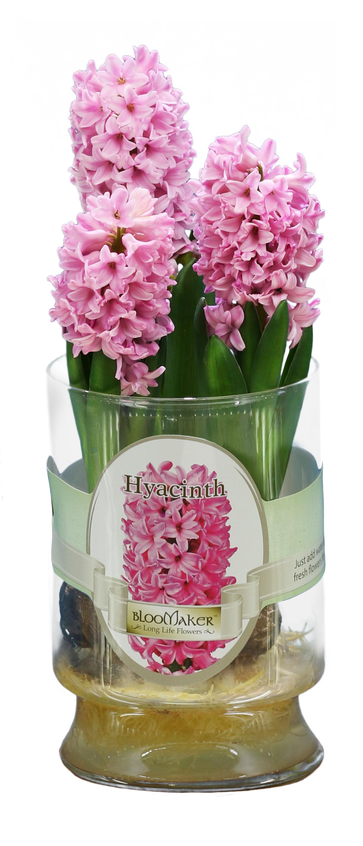 pink hyscinth 3 bulbs.jpg