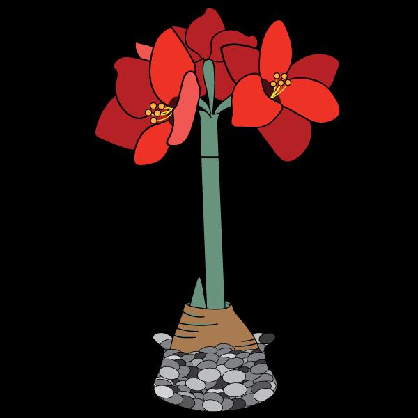 Giant Amaryllis