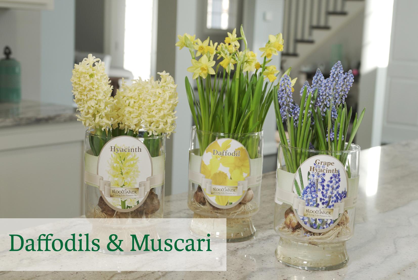 Daffodils & Muscari