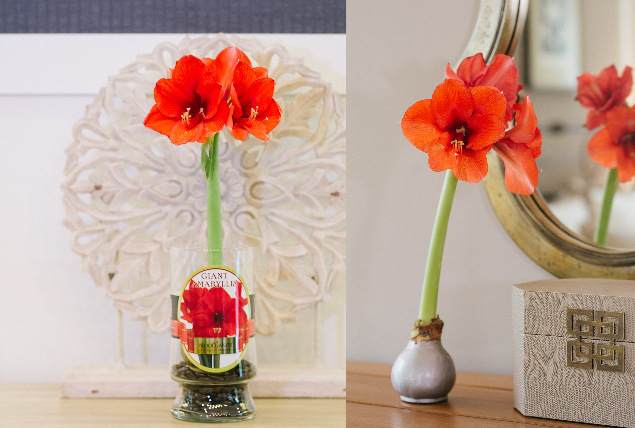 Giant Amaryllis - Giant Amaryllis love to rise to the occasion, make their presence known, and never fail to surprise. Our extra-large Giant Amaryllis bulbs require no care and can produce multiple gorgeous blooms. They come in two packages, waxed or in a vase with smooth pebbles. Keep them indoors away from direct sunlight, and don't let them get too hot. They make beautiful hearth and centerpiece decorations and are equally as wonderful to give as gifts. This holiday season, consider a Giant Amaryllis in place of that poinsettia.Visit our FAQ page for tips on care.Amaryllis Product Specifications