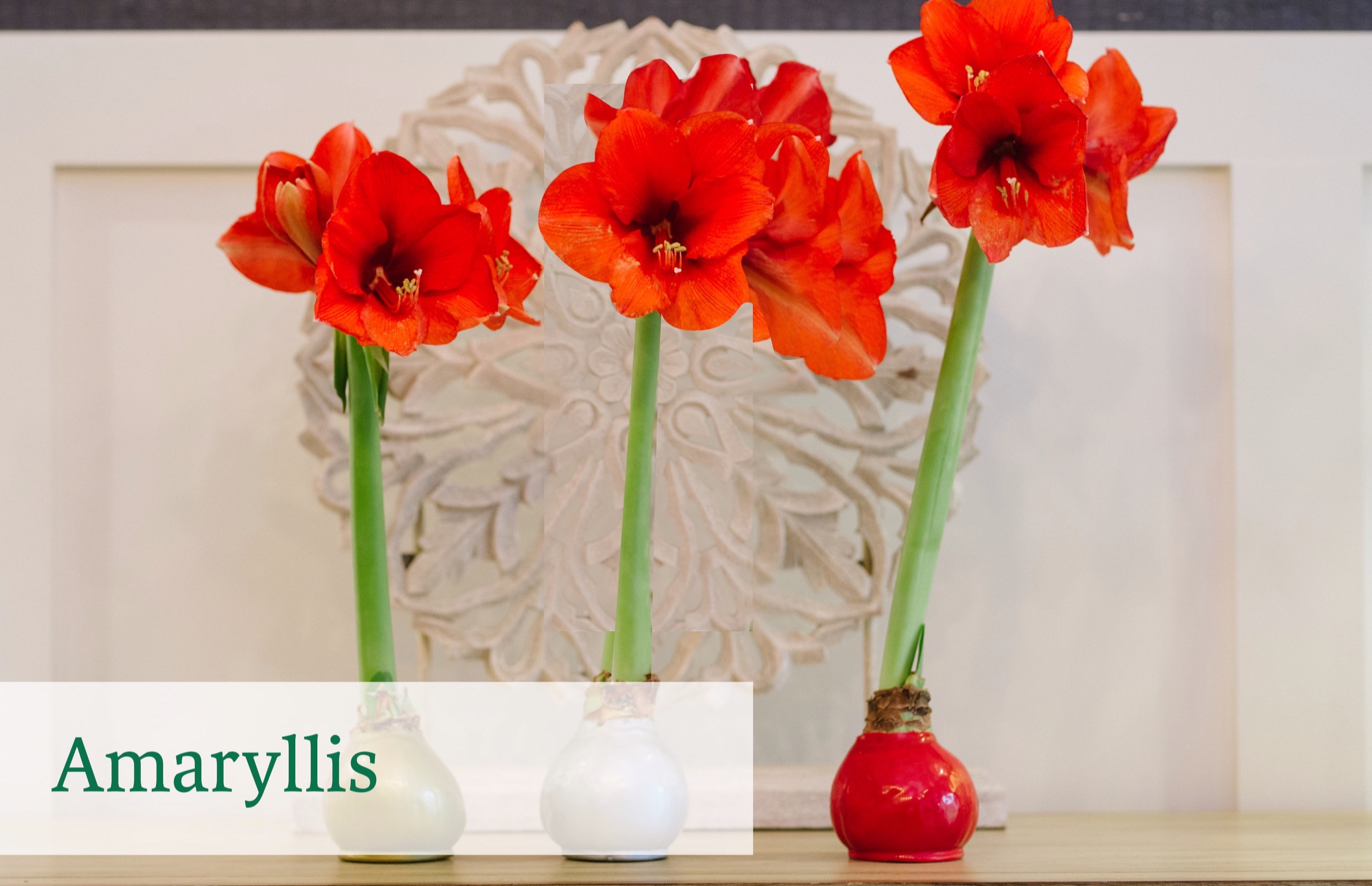 amaryllis+product+home+page.jpg