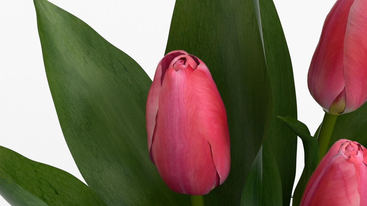 Tulip_CU_rgb0420.png