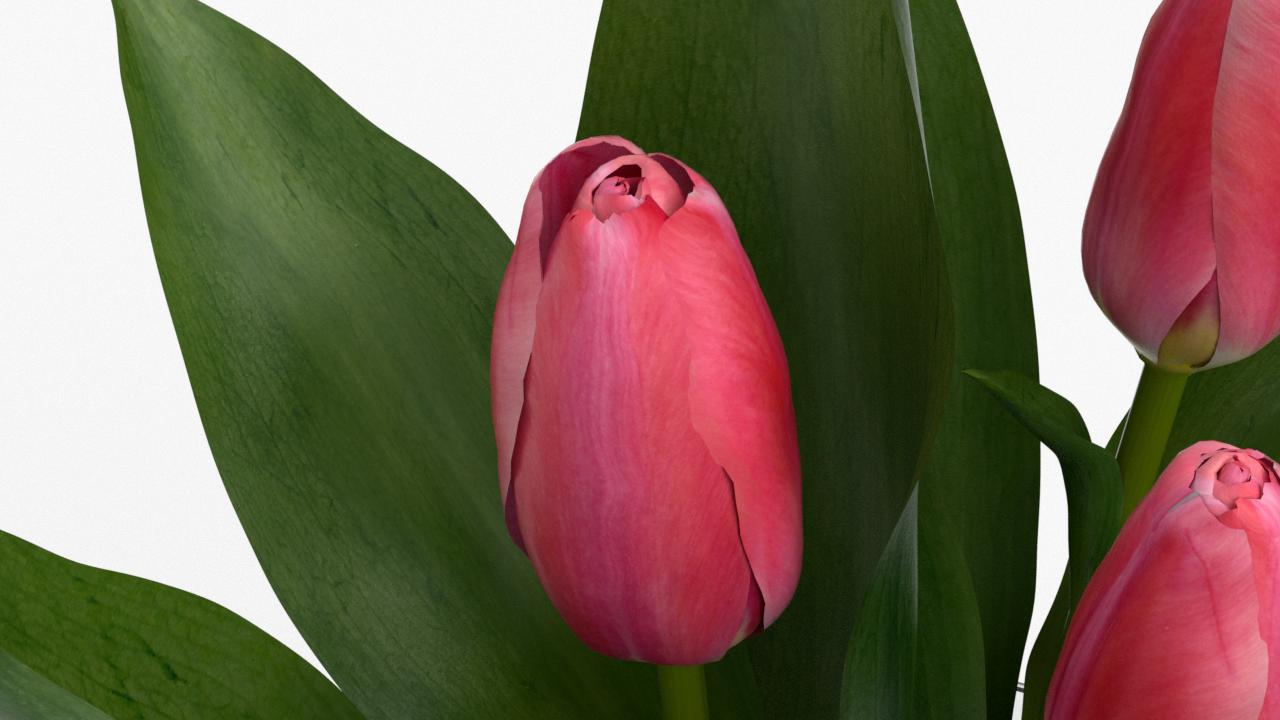 Tulip_CU_rgb0430.png