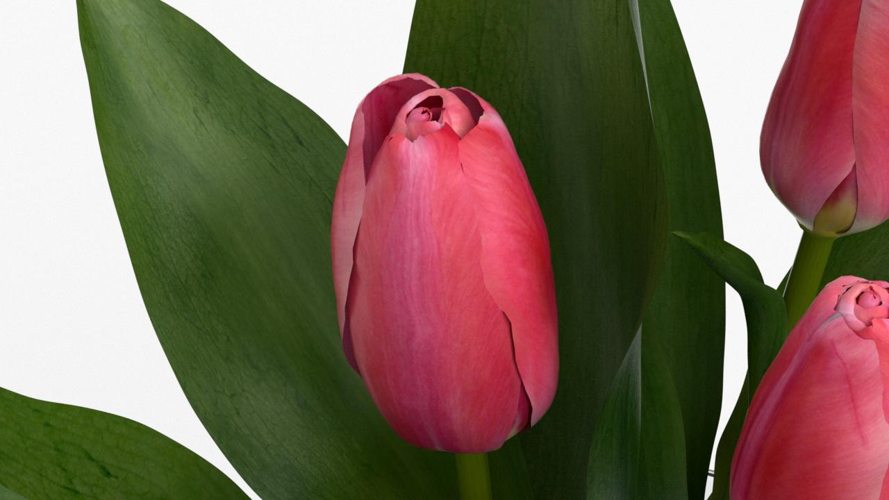 Tulip_CU_rgb0440.png
