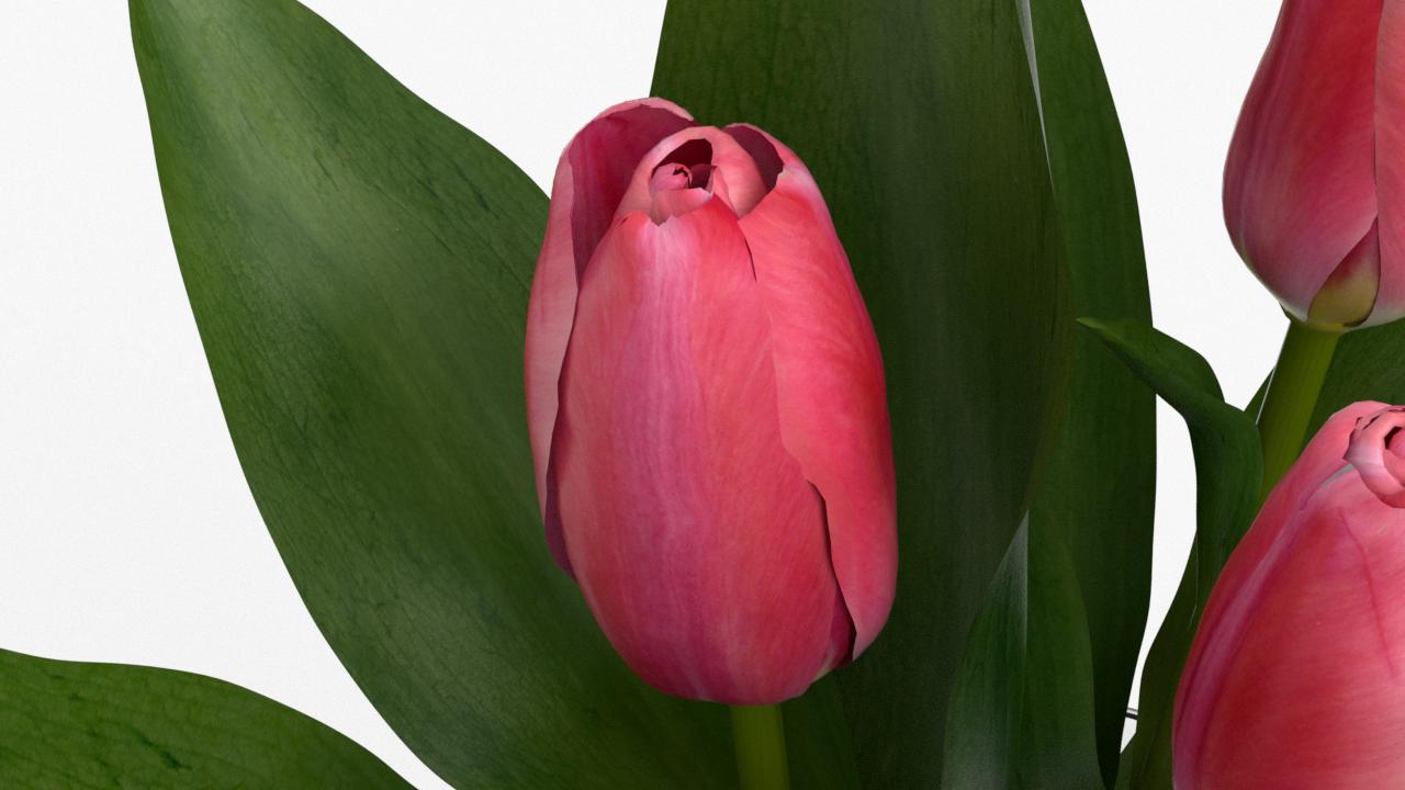 Tulip_CU_rgb0450.png