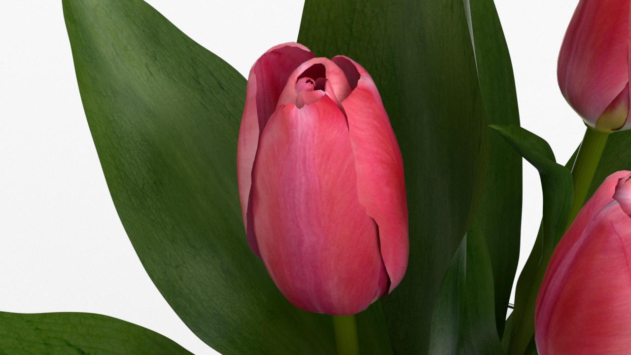 Tulip_CU_rgb0460.png