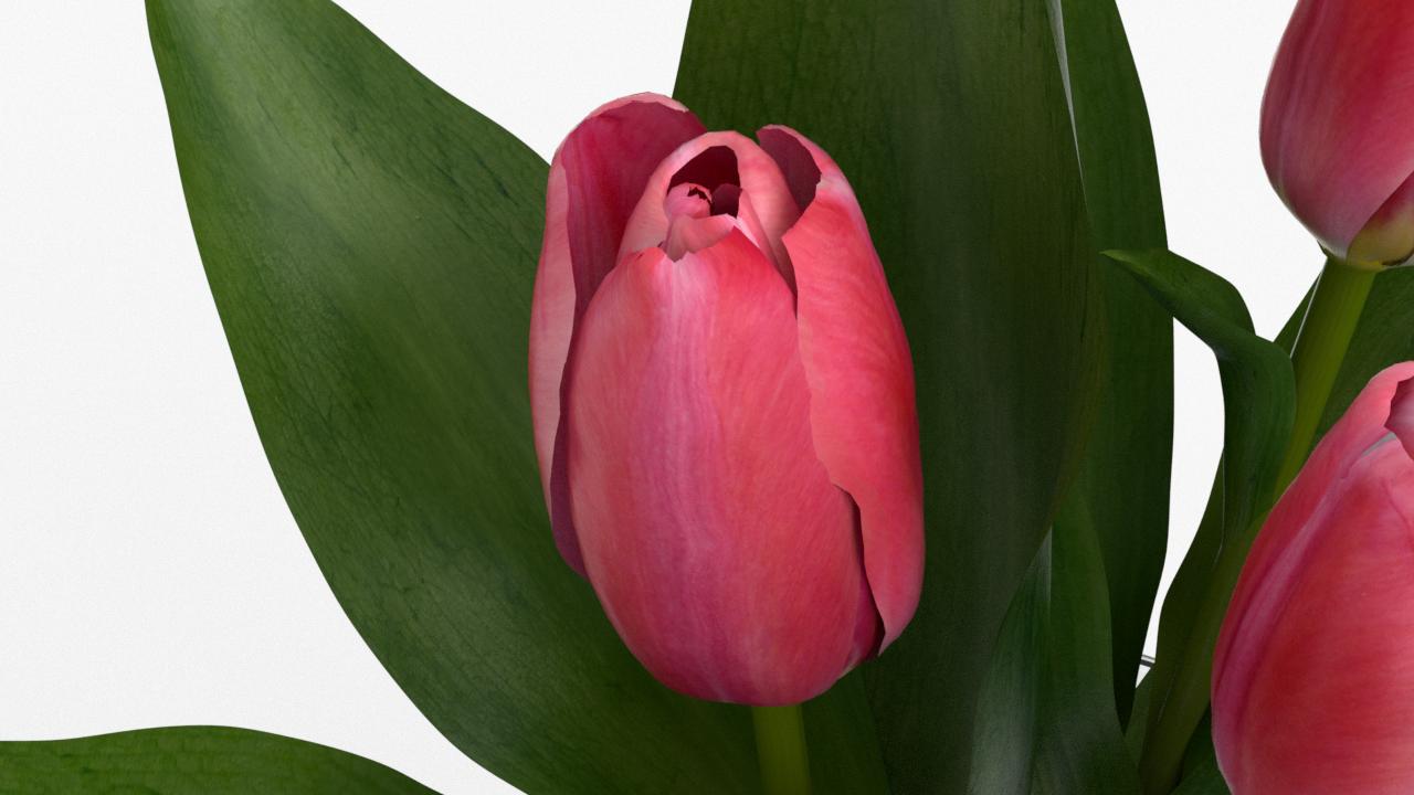 Tulip_CU_rgb0470.png