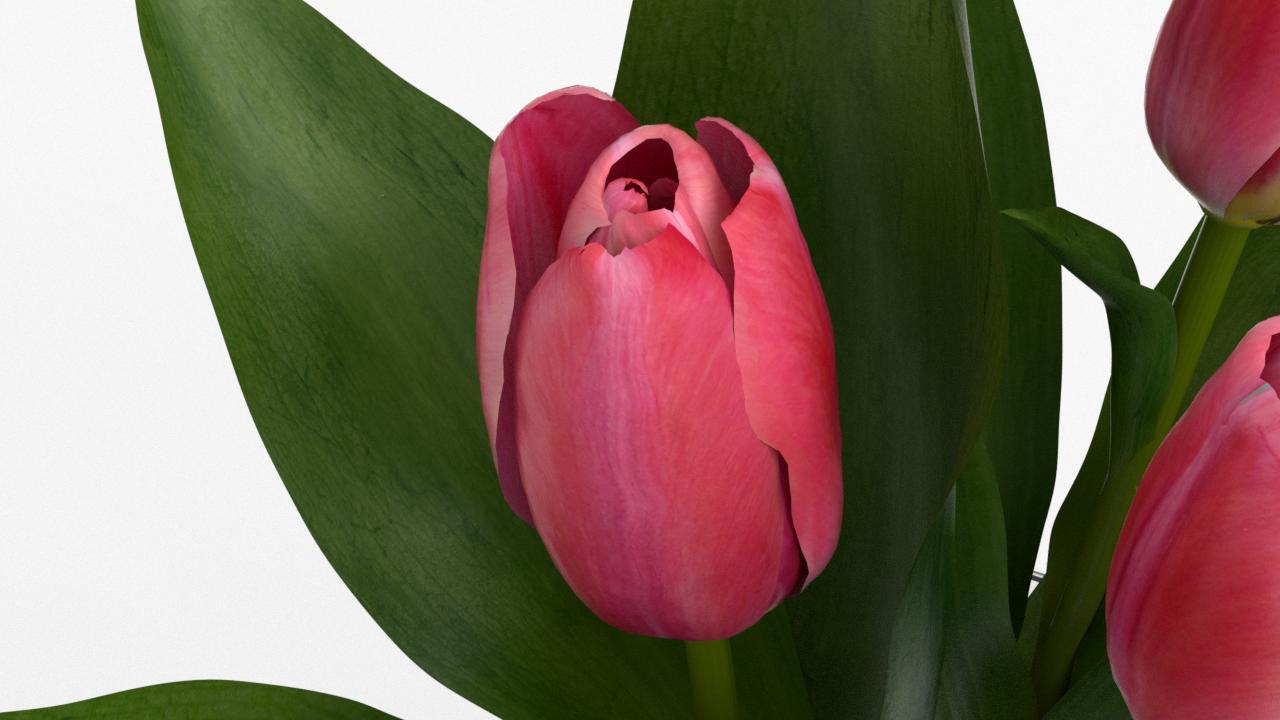 Tulip_CU_rgb0480.png