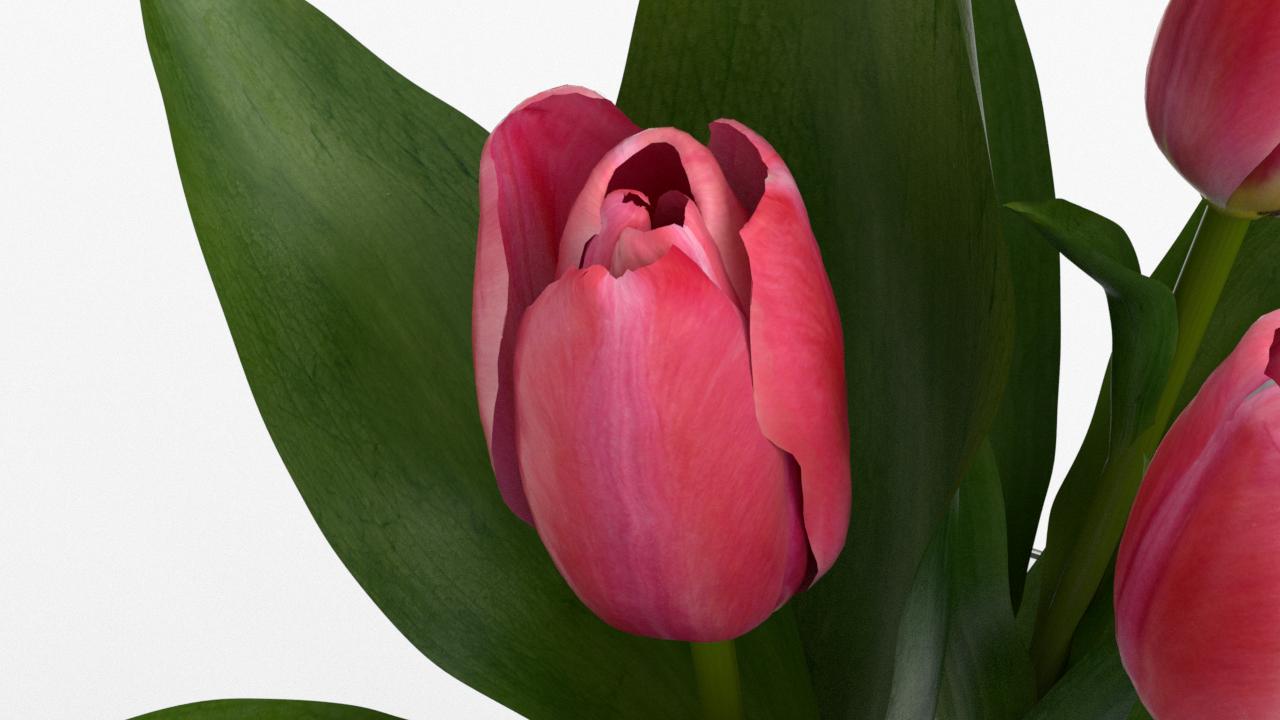 Tulip_CU_rgb0490.png