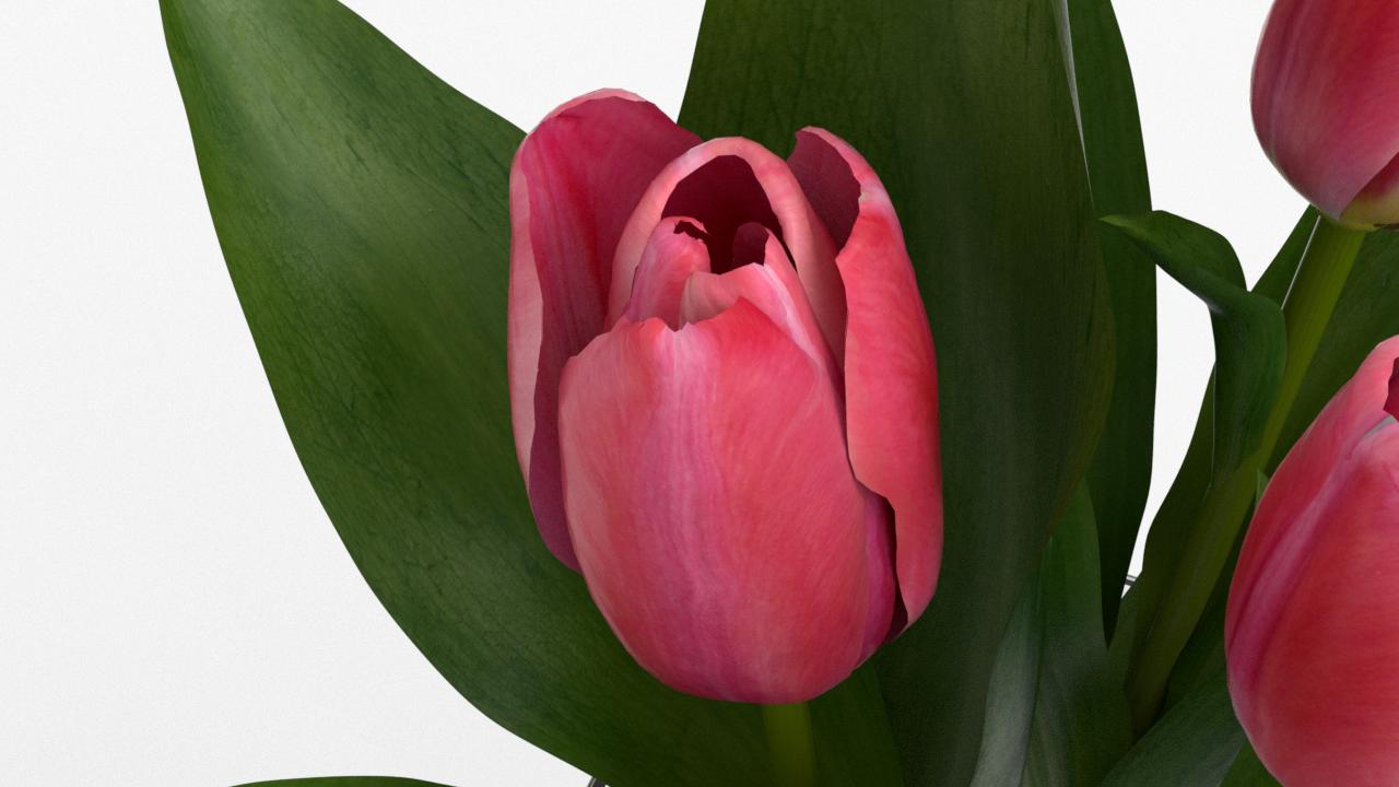 Tulip_CU_rgb0500.png
