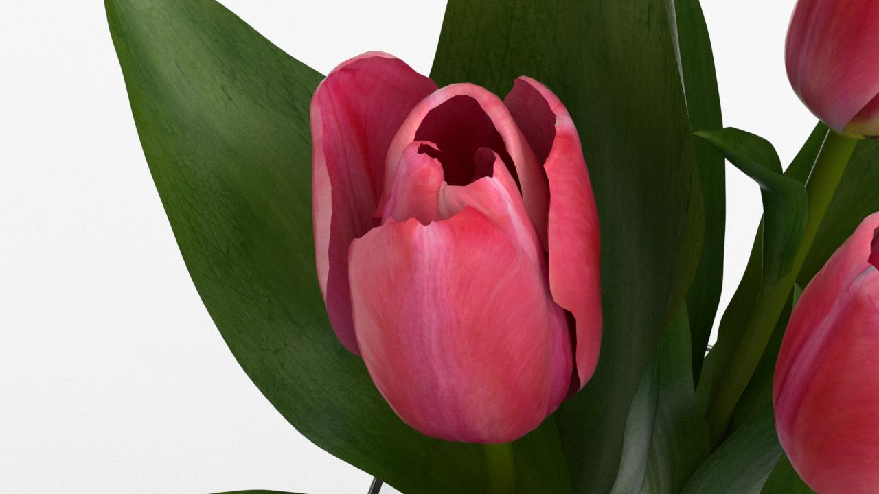 Tulip_CU_rgb0510.png
