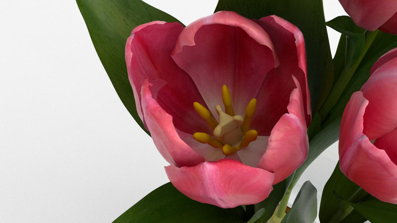 Tulip_CU_rgb0620.png