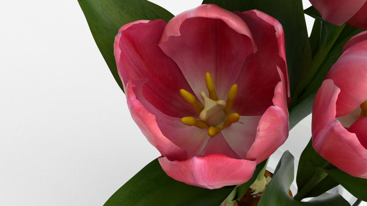 Tulip_CU_rgb0650.png