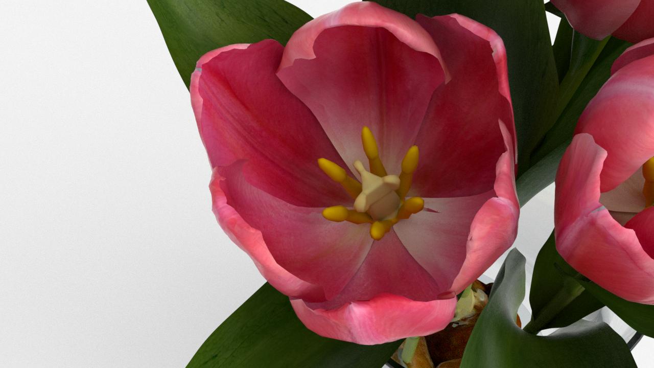 Tulip_CU_rgb0680.png