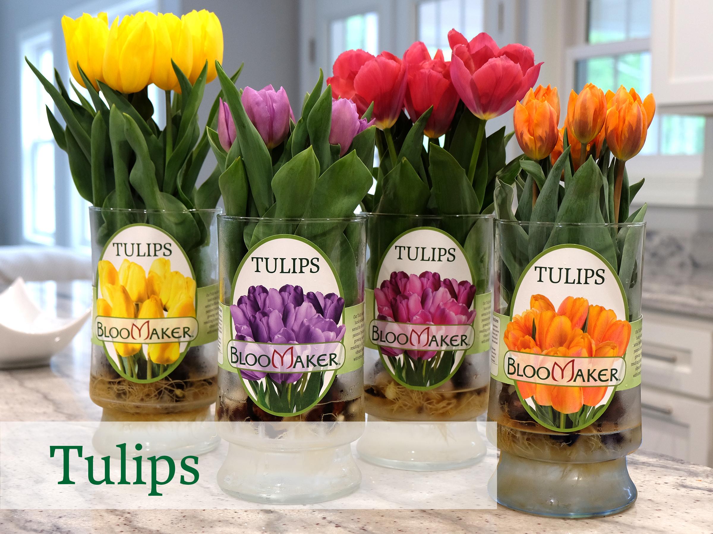 Bloomaker Tulips DSCF4727.jpg