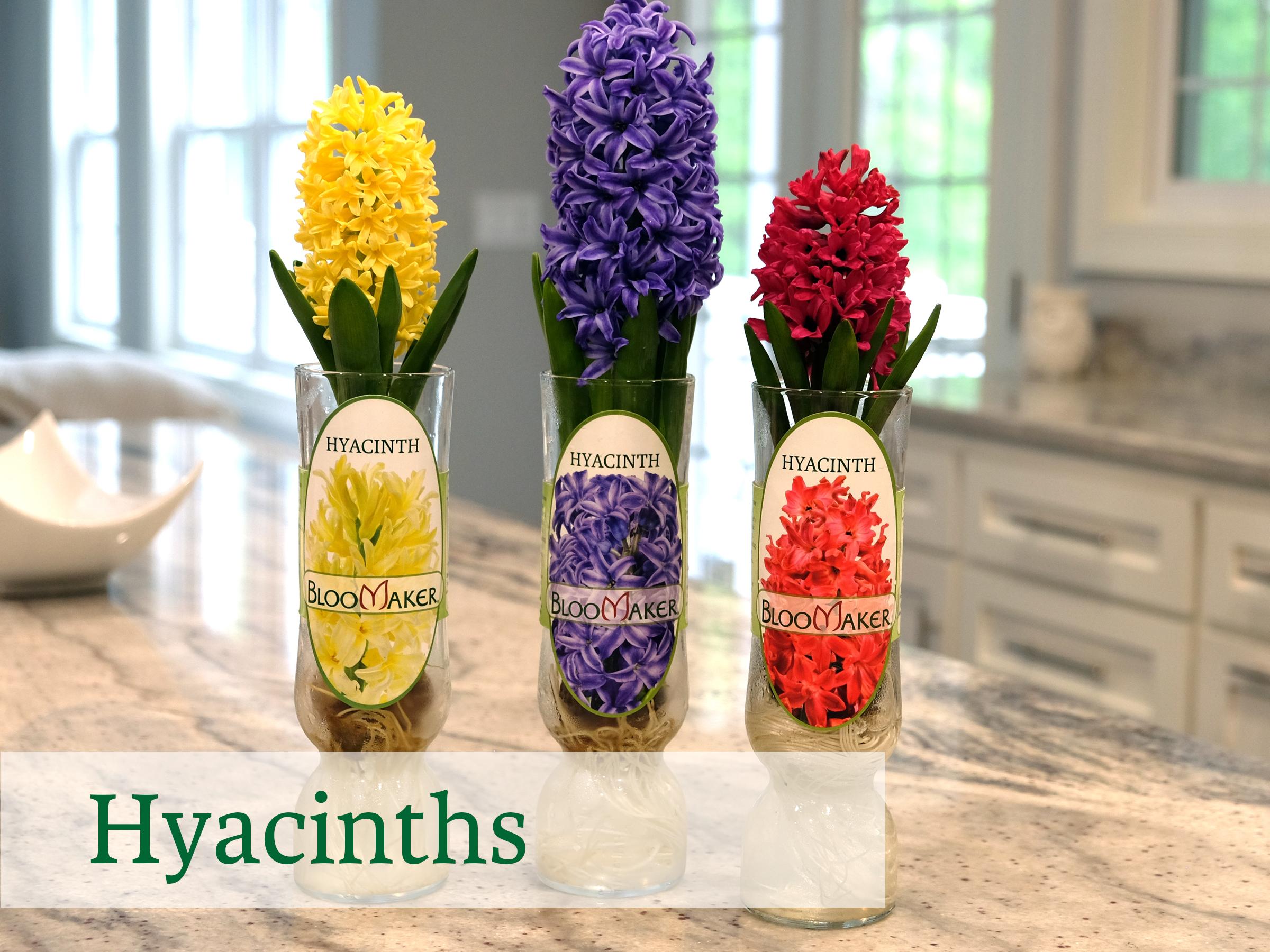 Bloomaker Hyacinth DSCF4754.jpg
