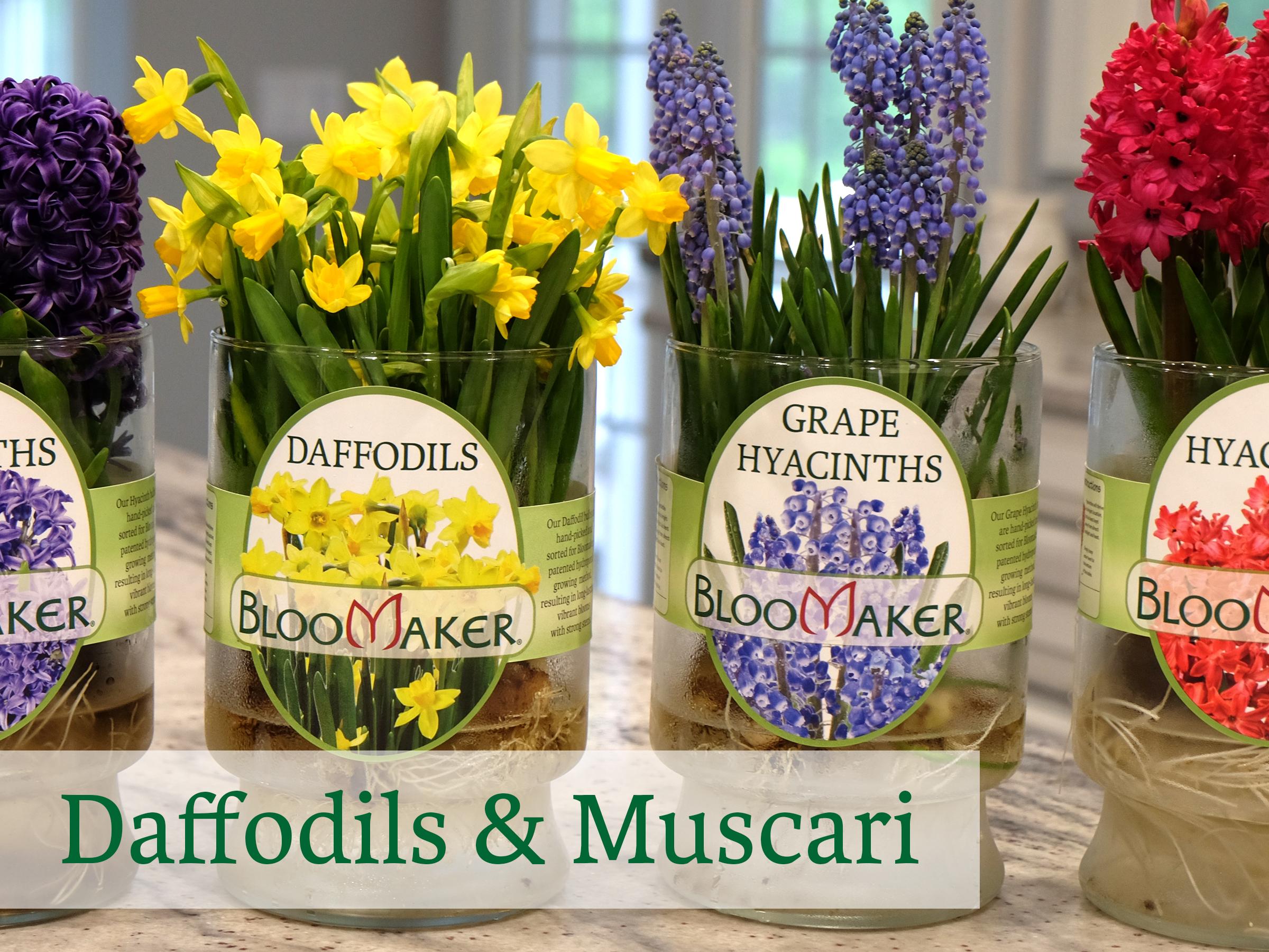 Bloomaker Daffodils and Muscari DSCF4736.jpg