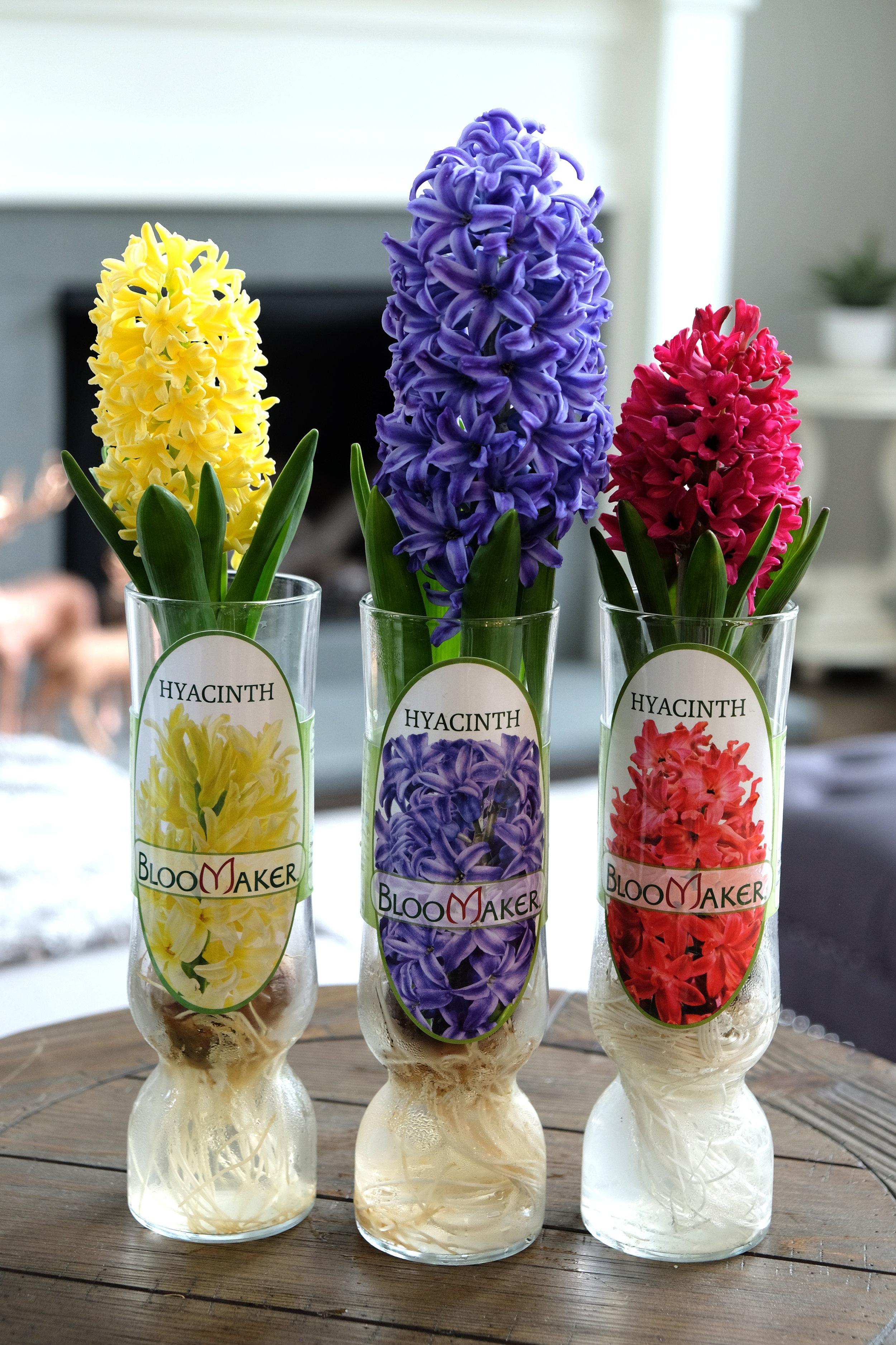 Hyacinths DSCF4779.jpg