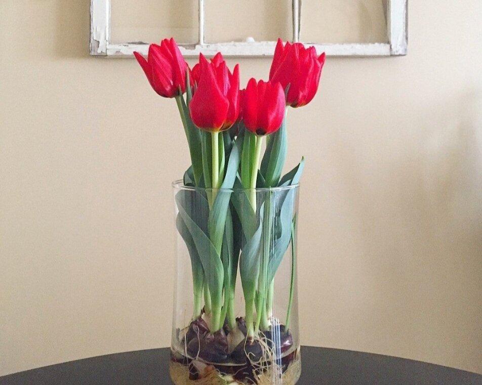 How To Regrow Your Bloomaker Tulip Bulbs Bloomaker
