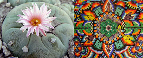 """Left to right: Lophophora williamsii (aka Peyote)in bloom; an example of Huichol sacred """"button"""" art used in Peyote ceremonies and rituals."""