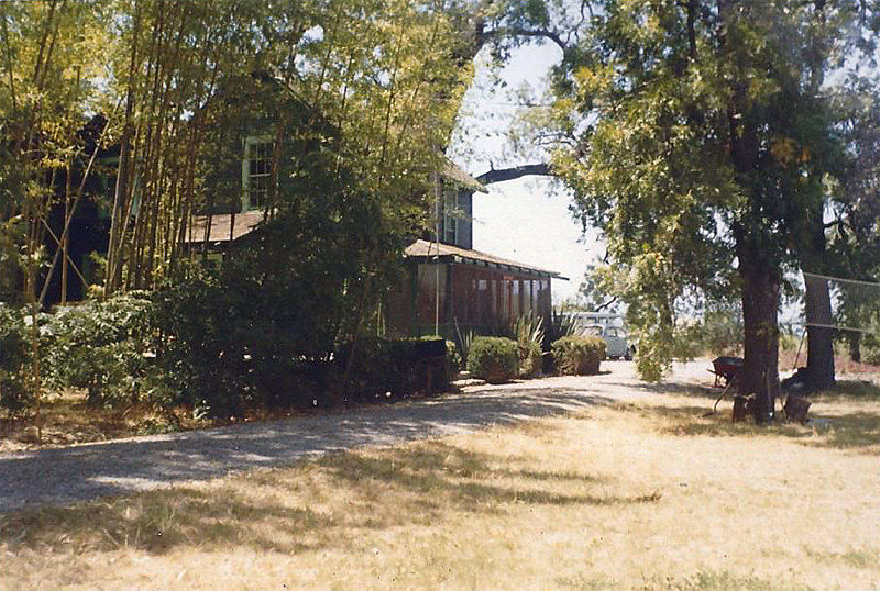 Another view of the rear of the house and bamboo grove. This prior to 1975; the bamboo is still leafy and green. The crossed bamboo culms were used to support a hose for an outdoor shower. Temperatures in Napa Valley can easily top 100-degrees, so the outdoor shower often provided great relief.