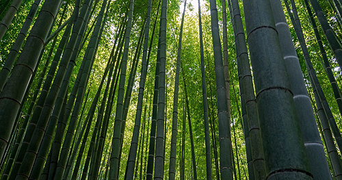 bamboo_grove.jpg