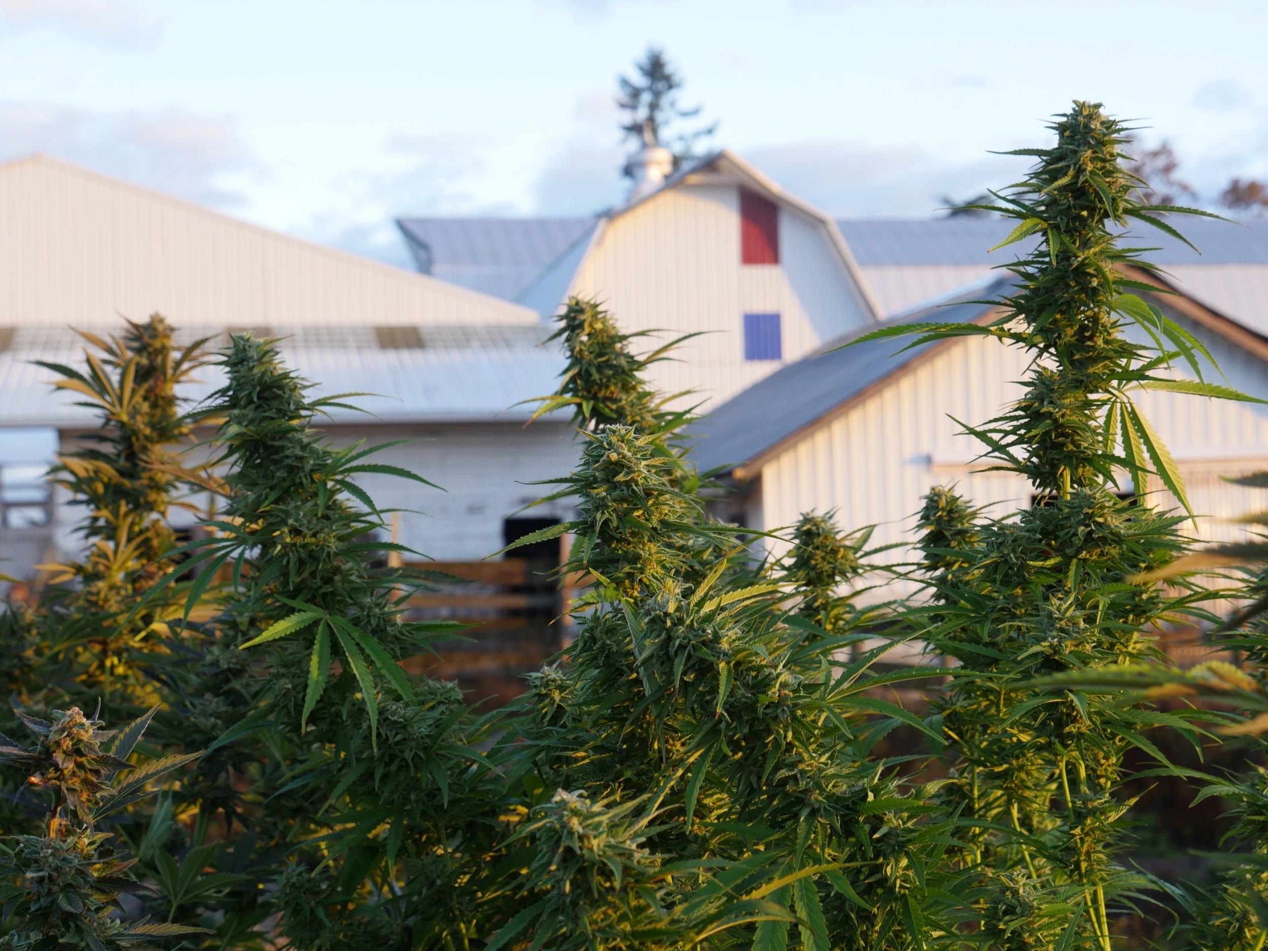 HiFi Farms About Cannabis