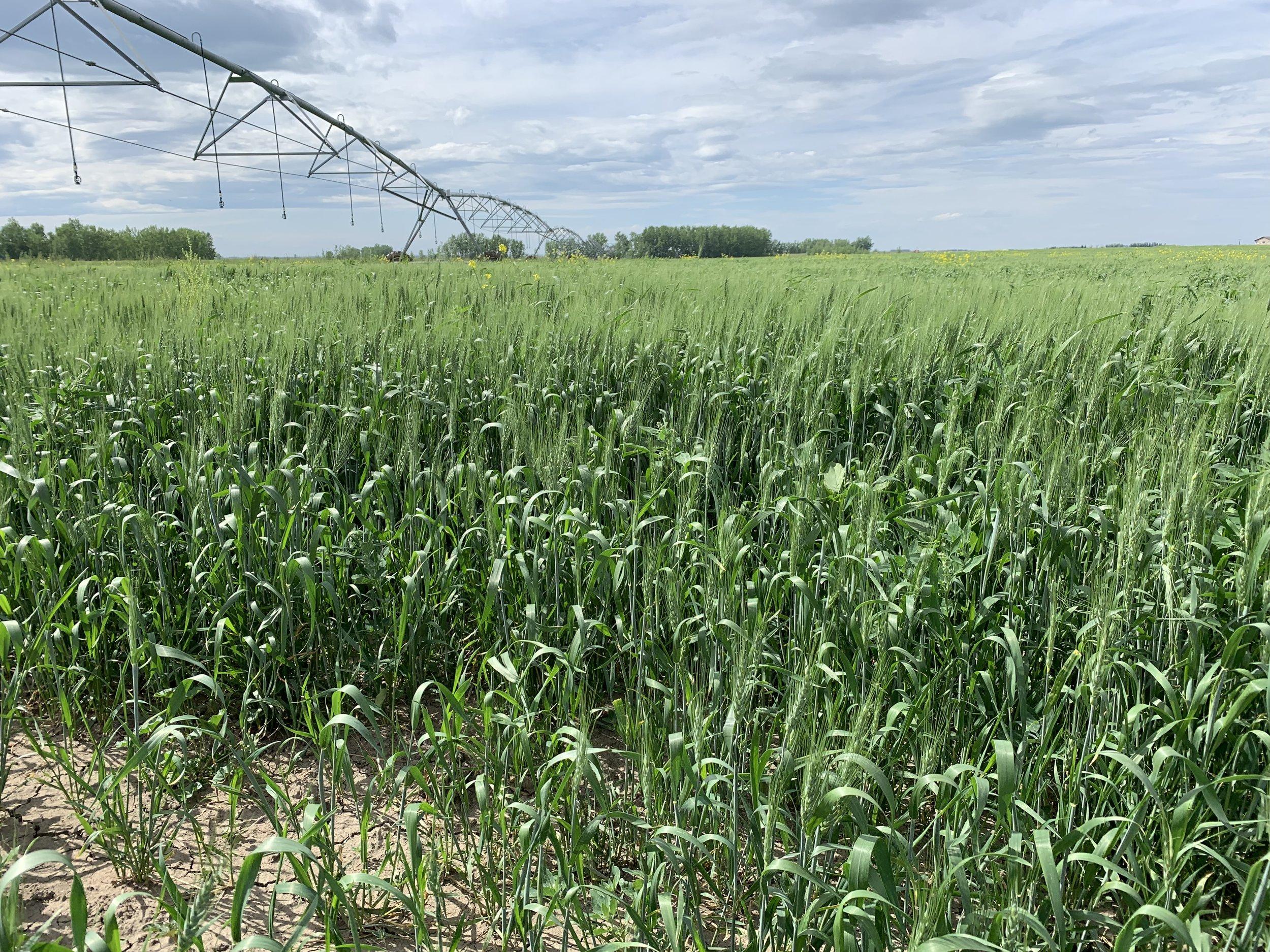 wheat as a rotation crop