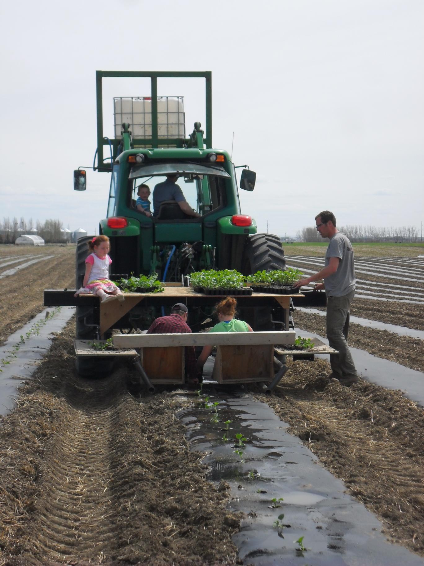 transplanting melons