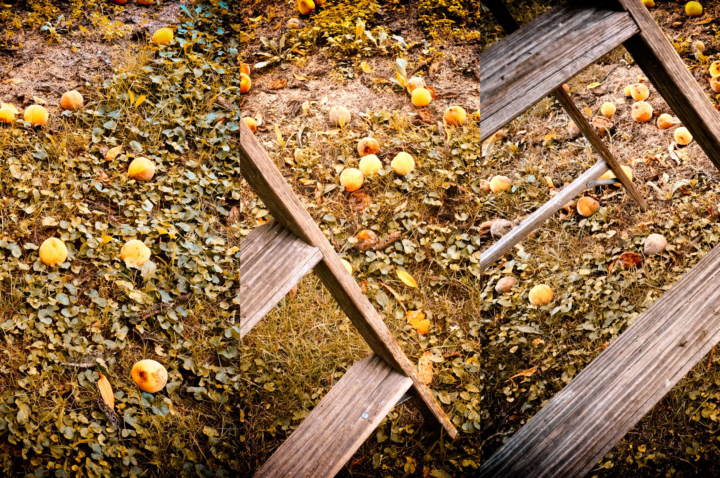 Ladder and Leftover Peach Harvest Triptych 8-26-17.jpg
