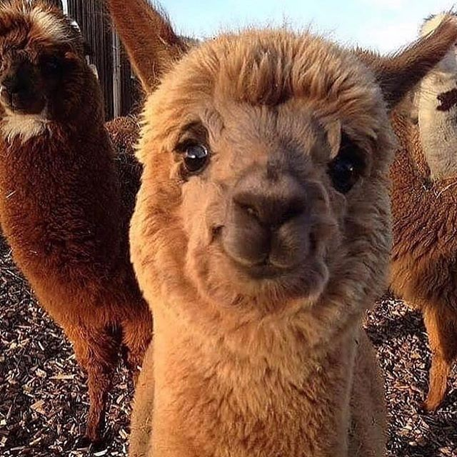 Now that I have your attention. 😂 @jennifer.garner shared this happy alpaca photo a day or so ago and it is still making me smile... wide. Whatever we need to lift our vibration matters because it lifts the collective vibe as well. I recently read another incredible @gregg.braden book and he cites a study where meditation actually helped lower crime rates. What's more, one person's peace energy can actually potentially impact more people than you might imagine. So smile with the alpaca! 😍 New listings (awesome Anthropologie deals) on my Posh - link in profile. We can change this world, one smile at a time. 💕💫 #positivevibes #positivethinking #positivity #thesimplethings #mindfulness #mindbodysoul #personalgrowth #spiritjunkie #hayhouse #behappy #belove #bekind #yogalove #meditation #manifest #beherenow #behappy 💕💫