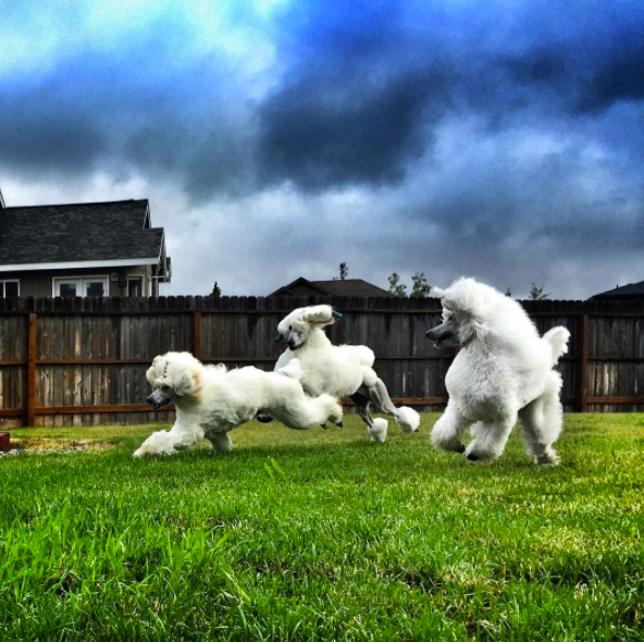Bryce playing with his littermate, Milan, and his big half brother, Spender. Spender is America's number ONE Standard Poodle!