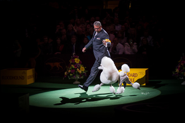 GCH Brighton Lakeridge Encore at the Westminster Kennel Club dog show in 2014. Ali took Reserve Best in Show!