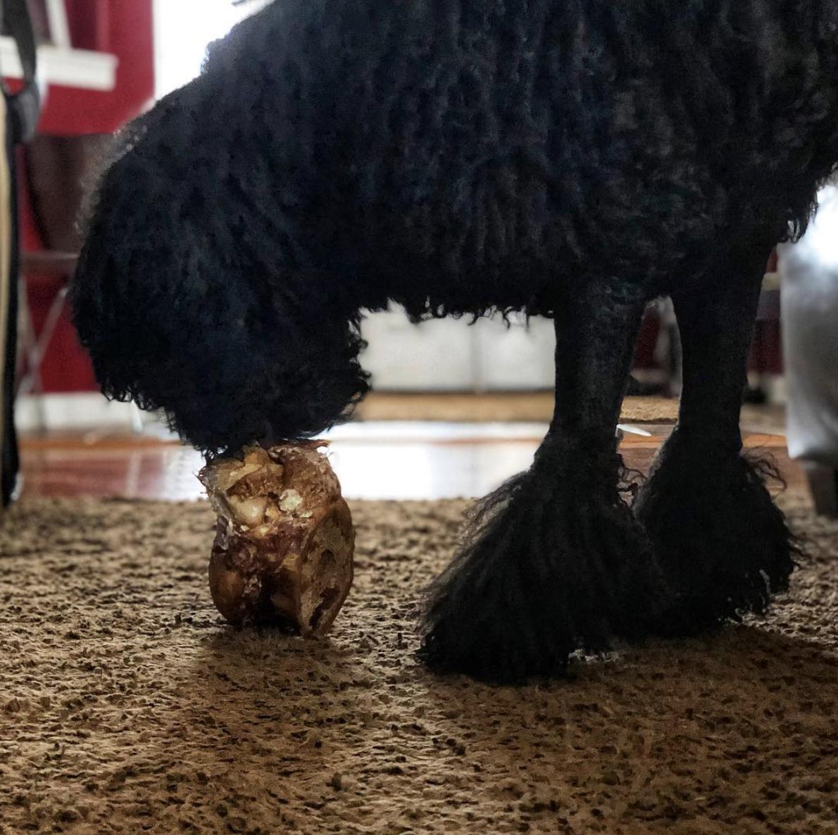 Wallace enjoying a knuckle bone.