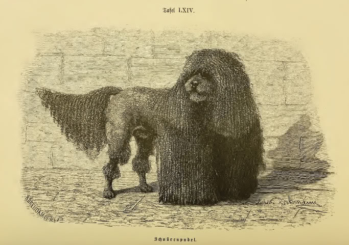 The more traditional look of the duck retrieving Poodle in cords, dating back several hundred years.
