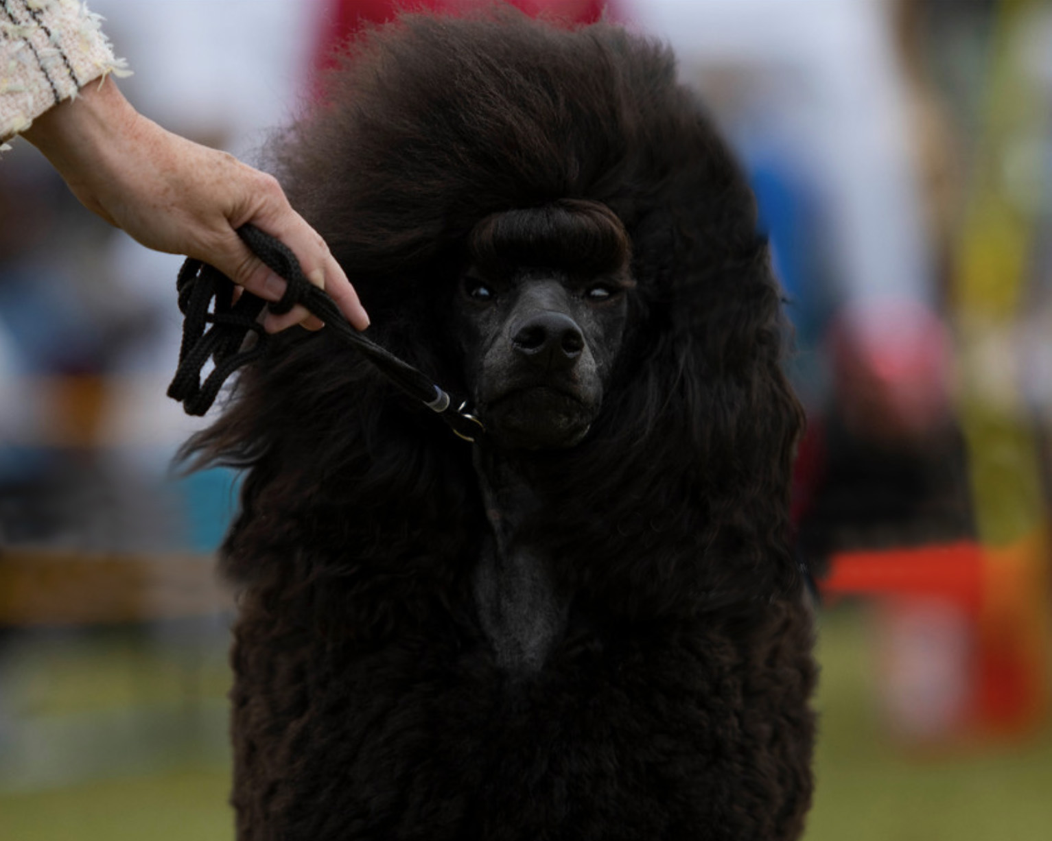 Kluane is a blue Standard Poodle. The newest addition to the Galavanting Poodles pack and already exceeding expectations.