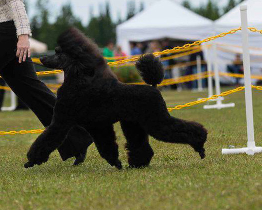 Kluane at 10 months old. She is such a lovely Standard Poodle!!