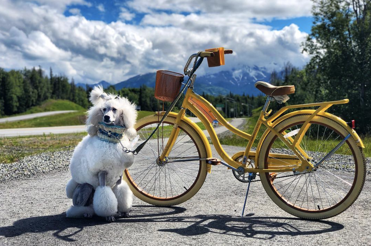 Learning to run next to a bike is one example of my Standard Poodle girl trusting her process when it comes to new things!