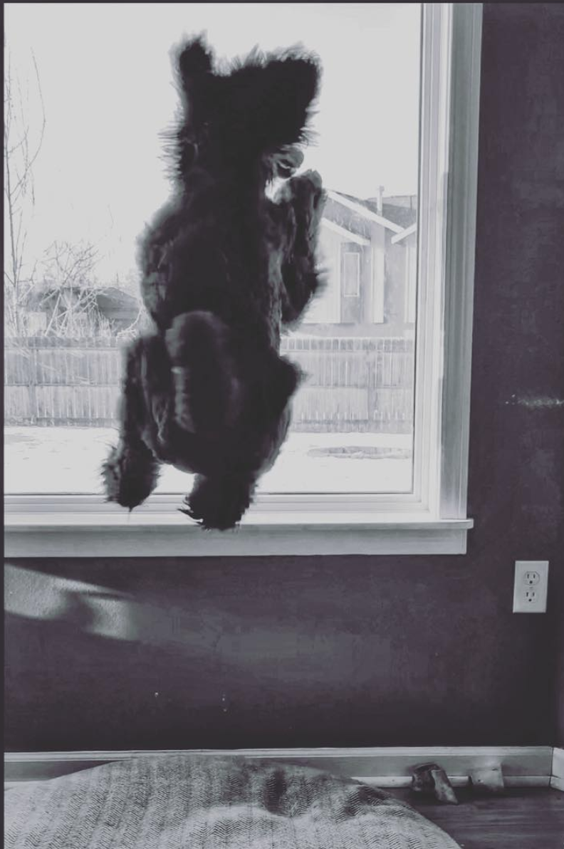 Kluane loves to jump and leap. In this blue Poodle's world, everything is exciting!