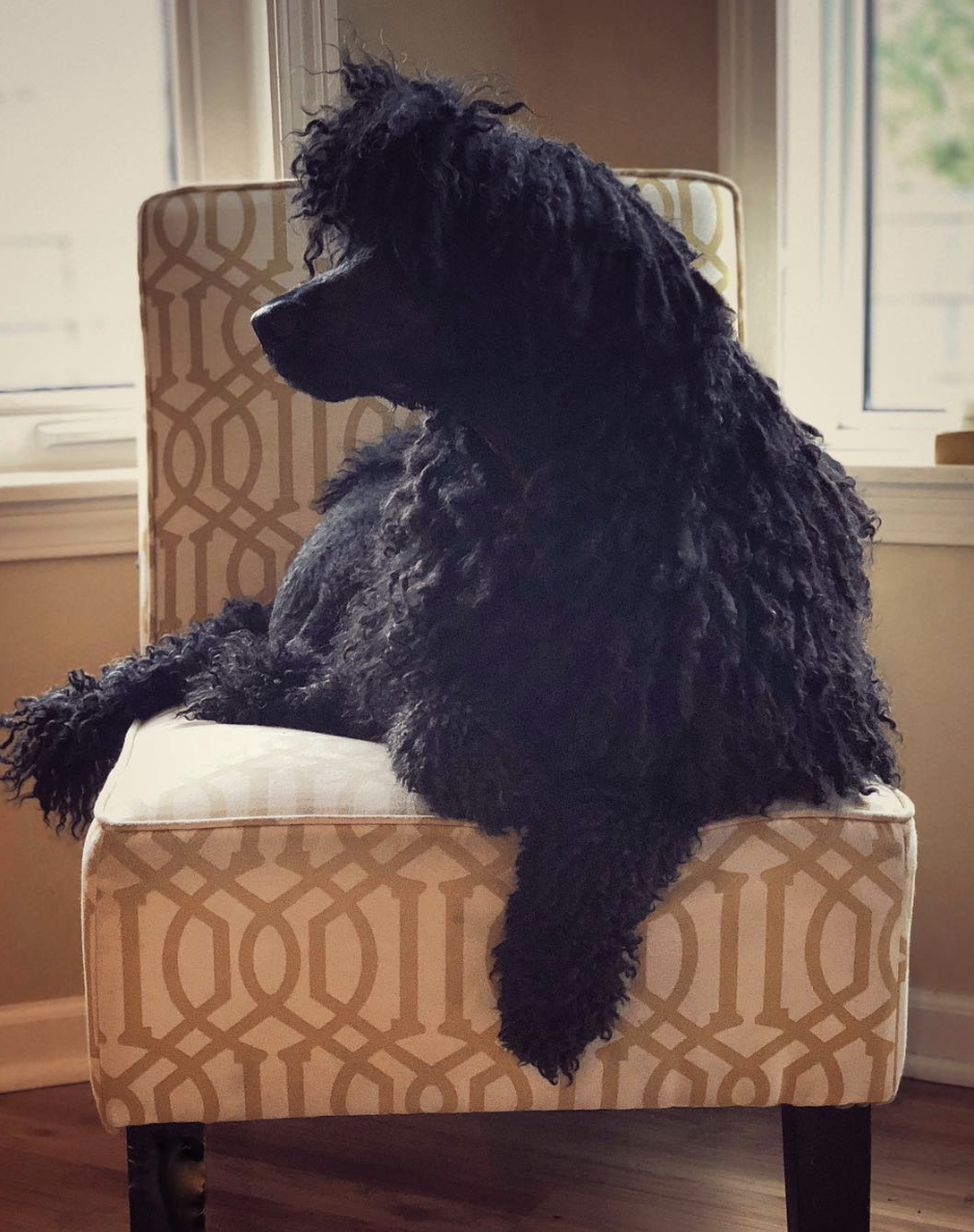 My corded Poodle, Wallace. He really is…  the coolest dog in the world!