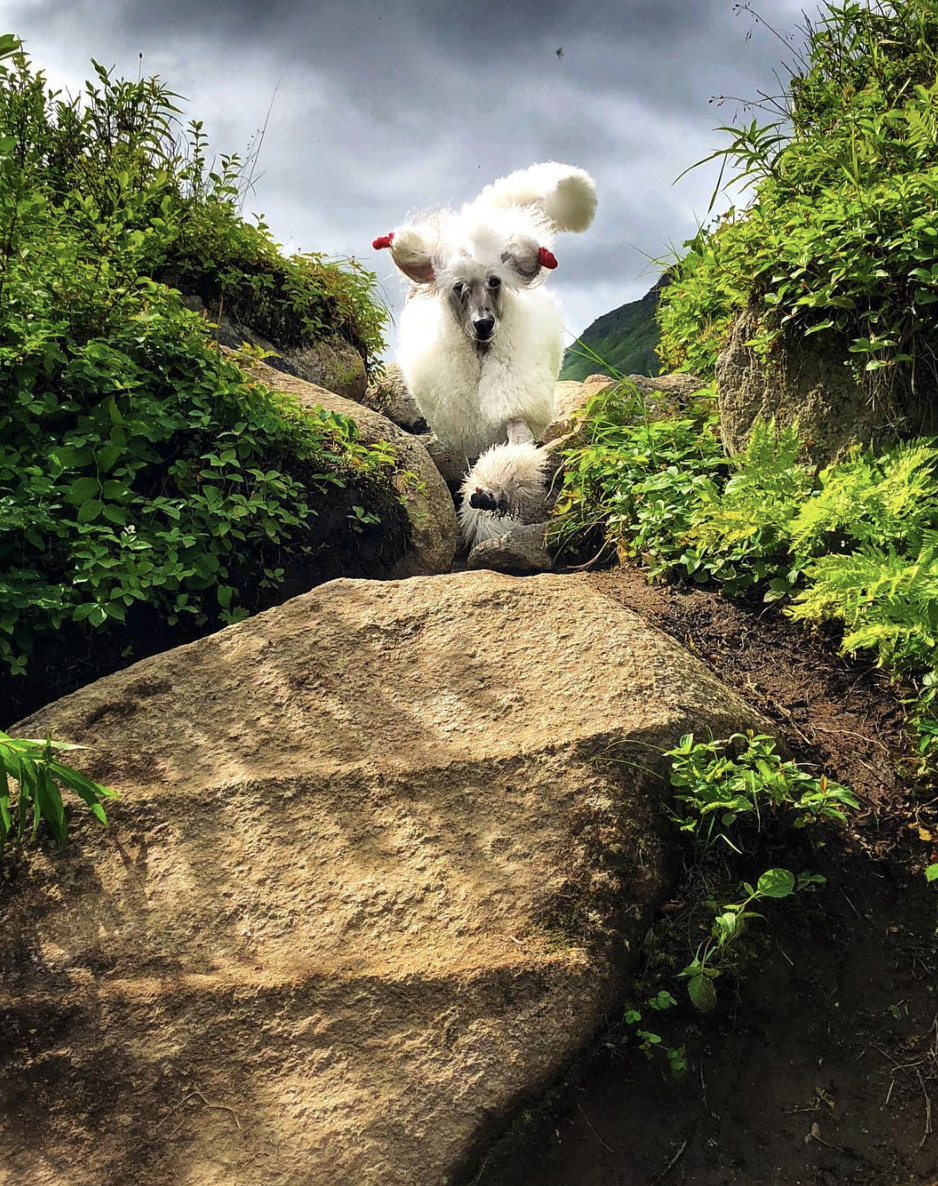 Look at this Poodle girl, Pali… conquering her fears!! Gosh I love her!