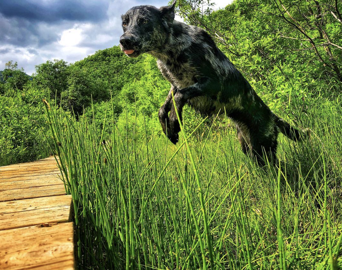 Why use the bridge when there is a perfectly good marsh to run through? This Catahoula girl takes full advantage of her outdoor adventures!