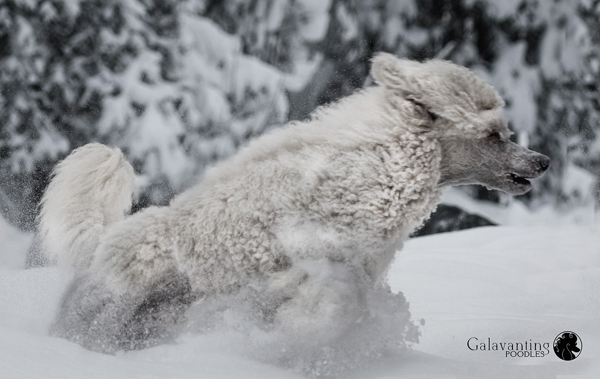 Standard Poodle Bryce has found his element in the deep snow of Talkeetna, Alaska! His Poodle hair is only a few months in to the cording process. But already, I can see the benefit of his corded hair in the snow!