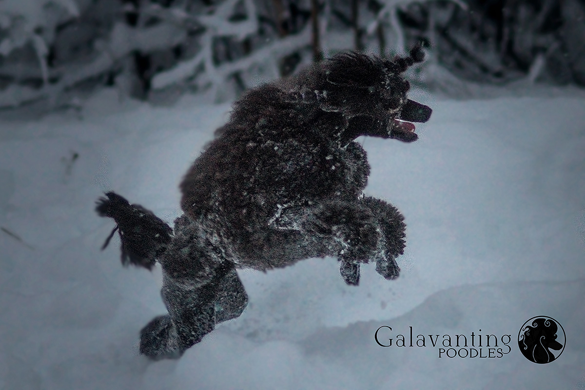 Nothing phases Standard Poodle Kluane. Winter is her favorite season!